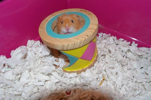 Fudge - the nutty hamster.